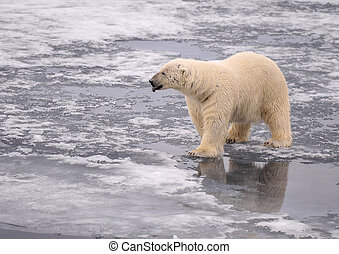Polar Bear on the ice, Spitsbergen 2012