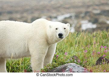 Polar Bear on the meadow