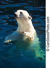 Polar bear - Nice photo of cute white polar bear