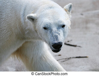 Polar bear - Cute Polar bear portrait
