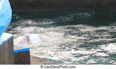 Polar bear playing in water - Polar bear playing with...