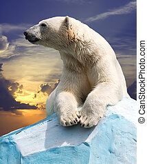 polar bear   - polar bear in wildness area against sunset