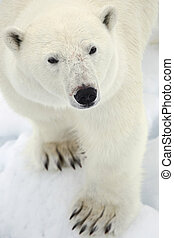 Polar bear - polar bear