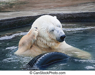 Polar bear scratching his paw behind his ear. A large wild animal swims in the pond with a car tire.