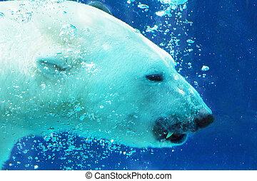 Polar bear showing tooth underwater