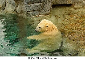 polar bear Sitting in the water.