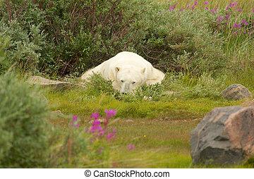 Polar Bear sleeping in the bush