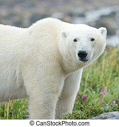 Polar Bear standing in the grass 2