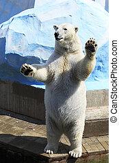 Polar bear standing on its hind legs.