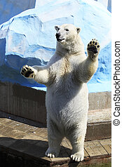 Polar bear standing on its hind legs.