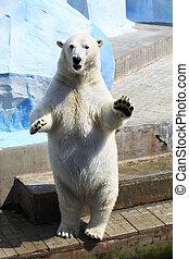 Polar bear standing on its hind legs. - Polar bear standing...