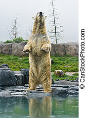 Polar bear with reflection standing upright at the waterside