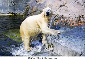 Polar bear - A polar bear is jumping out of the water and...
