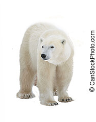 Polar bear - Polar Bear isolated on the white background.
