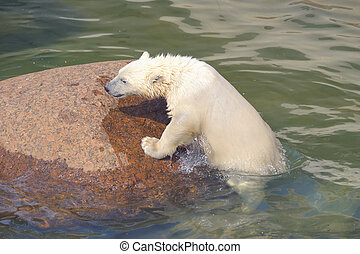 Little white polar bear struggles for his life