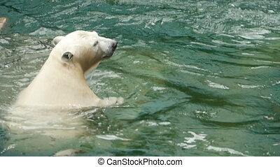 Polar bear swims and dives