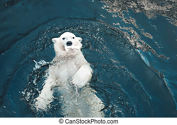 Polar bear swims in cold blue water and holding food in his mouth. Close-up photo of floating white bear that looking at the camera.