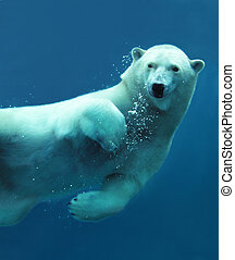 Close-up of a swimming polar bear underwater looking at the camera.