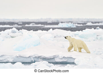 Polar Bear (Ursus maritimus) adult, walkin on melting...