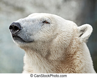 Polar Bear (Ursus maritimus) - Closeup portrait of the...