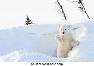 Polar bear (Ursus maritimus) cub coming out den and playing...