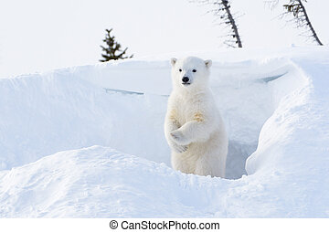 Polar bear (Ursus maritimus) cub coming out den and standing...