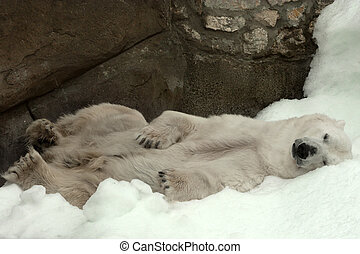 Polar bear ( Ursus maritimus ) in Moscow Zoo