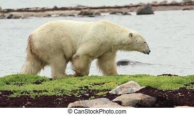 Curious Canadian Polar Bear walking along the shore of the Hudson Bay near Churchill, Manitoba, in summer