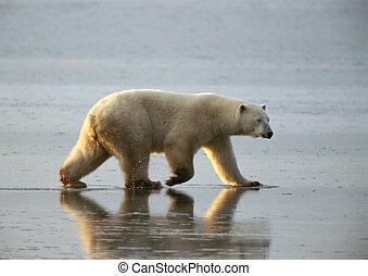 Canada, polar bear walking