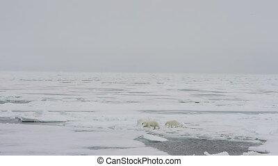 Polar bear walking in an arctic. - Polar bear with two cubs...