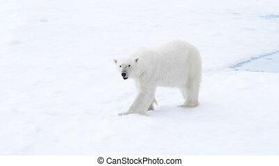 Polar bear walking in an arctic. - Polar bear walking in an...