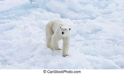 Polar bear walking in an arctic. - Very skinny Polar bear...