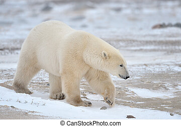 Polar Bear walking in snow.