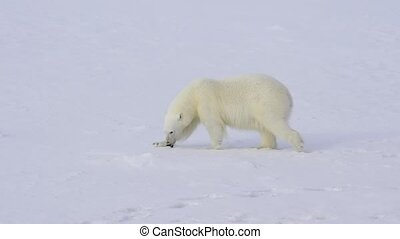 Polar bear walking on ice arctic. - Polar bear walking in...