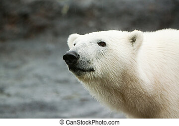 Polar bear walking on rock