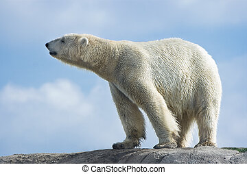 Polar bear walking on rocks on sunny morning with blue sky and clouds background