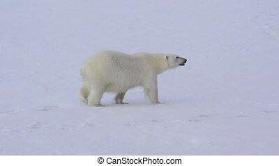 Polar bear walking on the ice. - Polar bear walking on the...