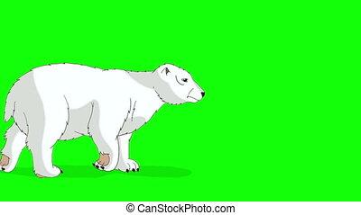 Polar Bear Walks Chroma - Big Polar Bear Walks. Light gray...