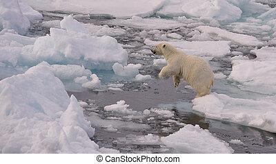 polar bear, welp