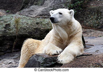 Polar Bear - White polar bear on rock.