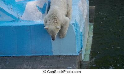 Polar bear with cub playing in water - Polar female bear...