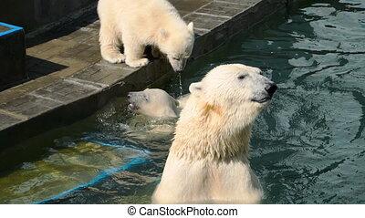 Polar bear with cubs playing in water - Polar female bear...