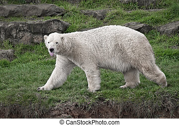Polar bear with tongue out