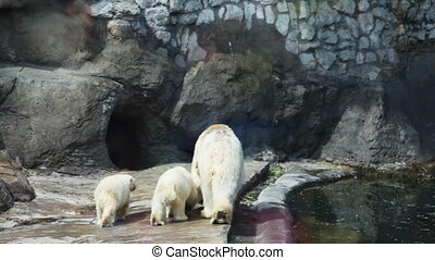 polar bear with two children go to cave in zoo - adult polar...