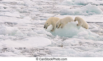 Polar Bear with two cubs - Polar Bear with two cubs on the...