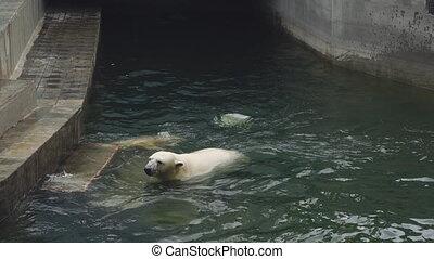 Polar bears at the zoo