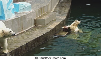 Polar bears at the zoo - Young polar bear playing in the...