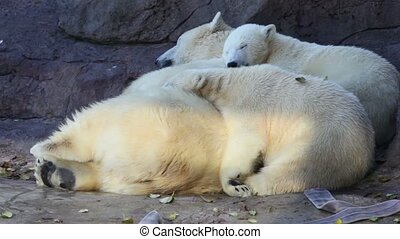 polar bears at zoo lay and sleep close to each other - Three...