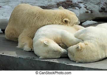 Polar bears family sleeping