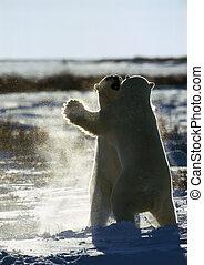 Canada, two polar bears fighting on ice floe